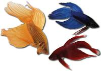 Betta Splendens Betta Man Mix